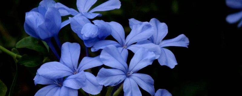 藍雪花春天怎么養護