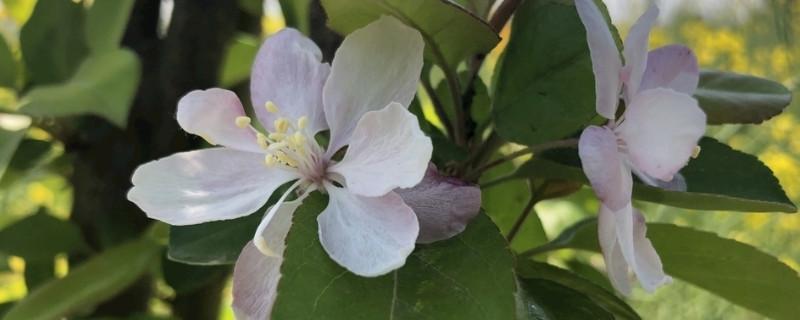 海棠花有毒吗 适合在室内养吗