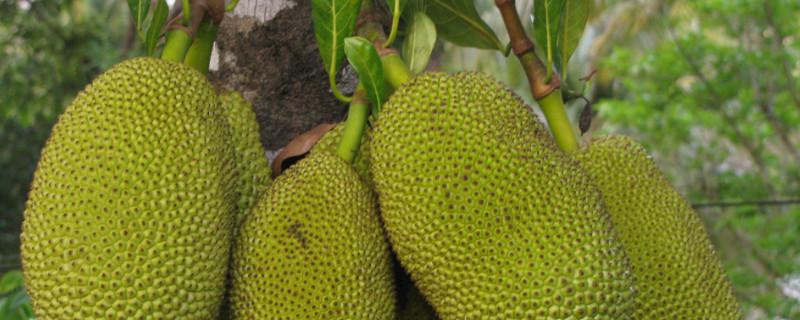 菠萝蜜长在树上还是地上
