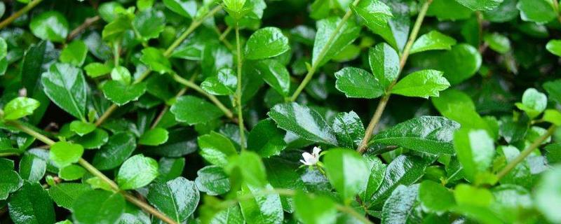 福建茶盆景几月开花
