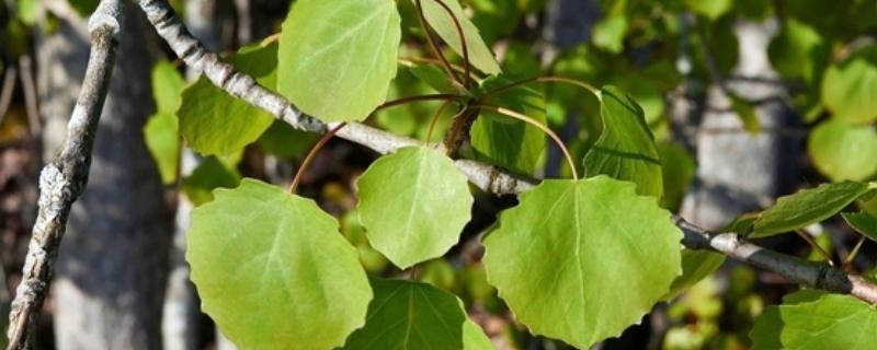 杨树叶上有黑斑怎么办