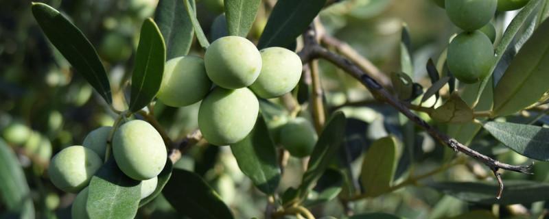 橄榄树象征什么