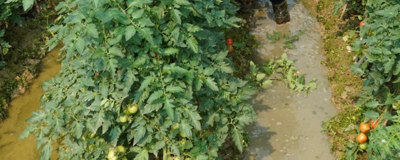 西红柿用掐尖打叉吗