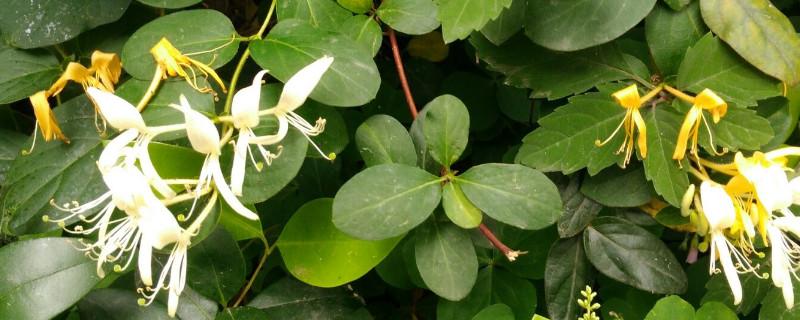 忍冬的花瓣形狀是什么