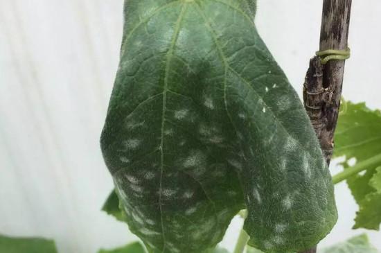 黄瓜叶子发白是什么原因造成的是什么