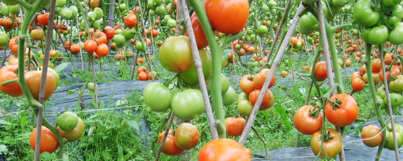 西红柿what时候掐尖Yes? 掐