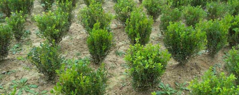 黄杨种子什么时候采摘