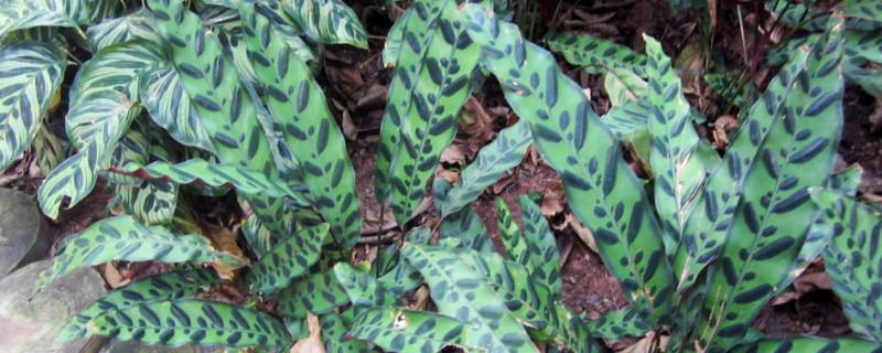 孔雀竹芋有毒会致癌吗