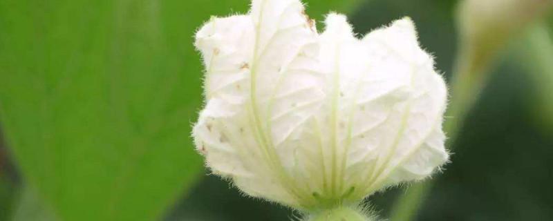 葫芦开花期间要注意什么