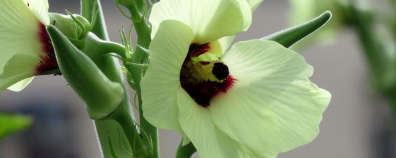 秋葵开花结果是否需要授粉