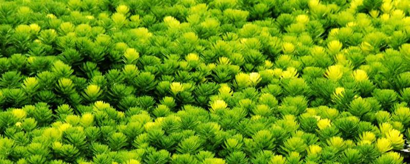 金魚藻屬于沉水植物嗎