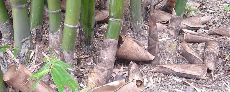 竹根栽完多久能发芽