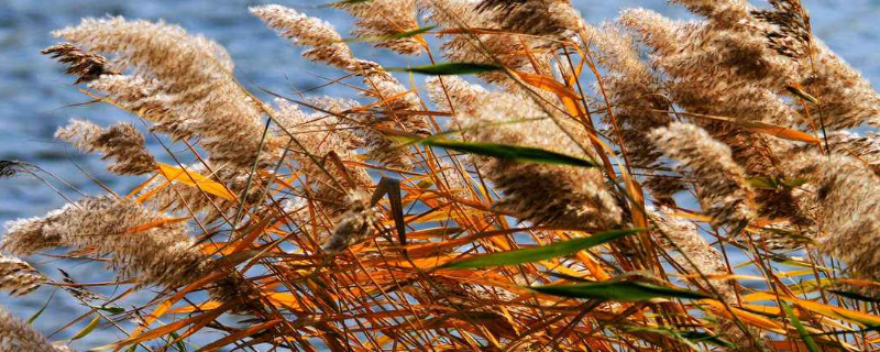 芦苇是什么颜色的