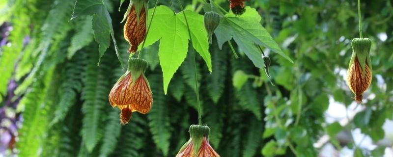 悬铃花是爬藤植物吗