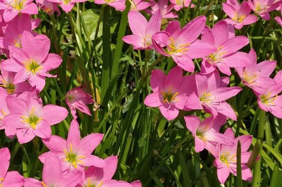 红花葱兰怎么养殖