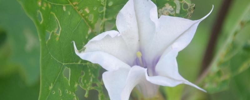 洋金花怎么种植