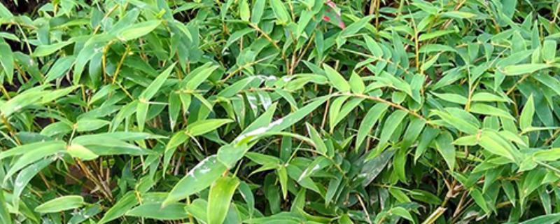 米竹叶子发黄干叶