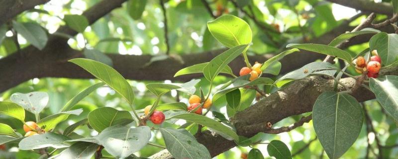大叶榕树怎么养殖方法