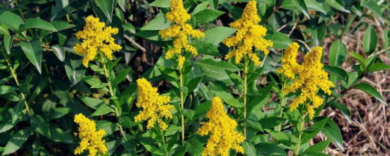 一枝黄花怎么种植
