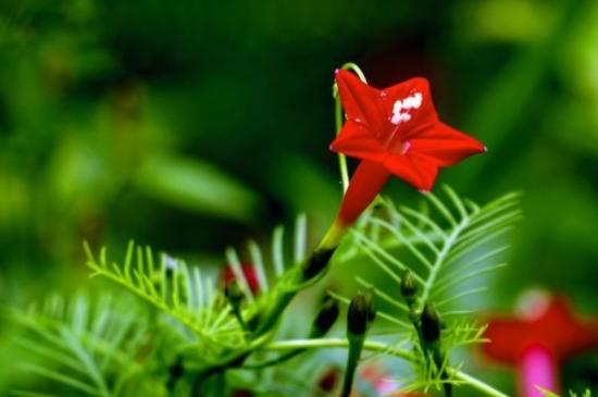 茑萝花的寓意和象征