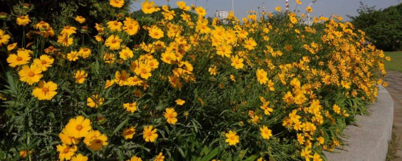 金鸡菊花期有多长