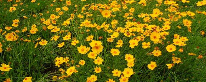 金鸡菊几月份播种