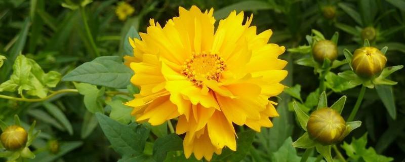 金鸡菊叶子尖的黄叶怎么办!