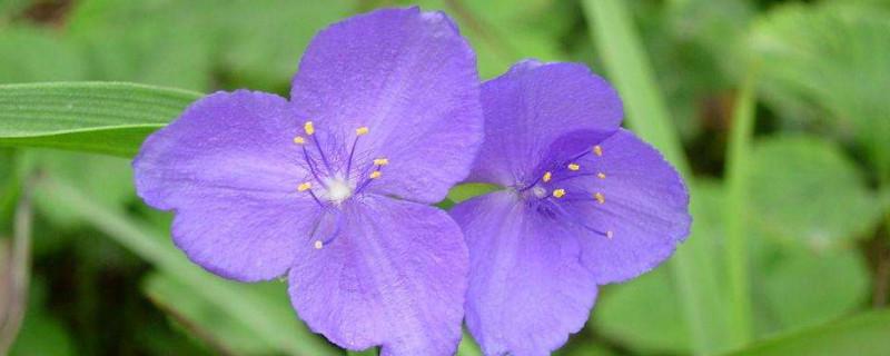 紫露草怎么繁殖