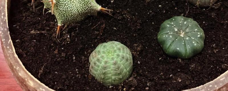 布纹球怎么繁殖