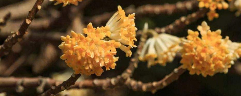 结香花的叶子发黄