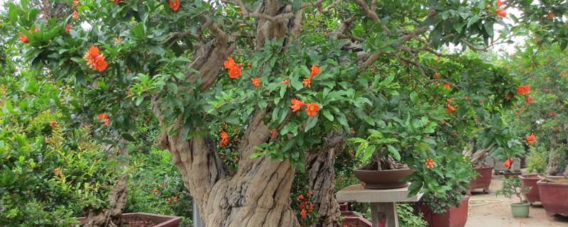 盆栽石榴树的养殖方法和注意事项