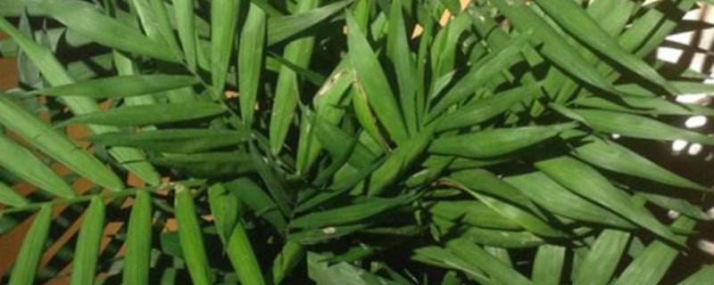 风尾竹怎样栽培和种植