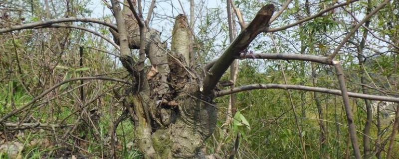 杀死大树的土方法