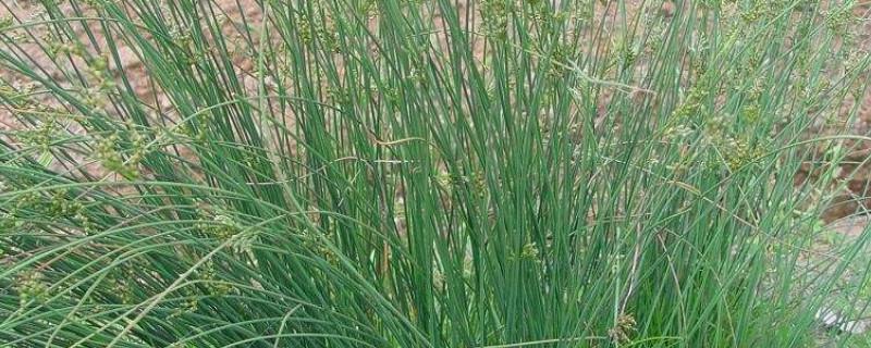 龍須草的養殖方法和注意事項