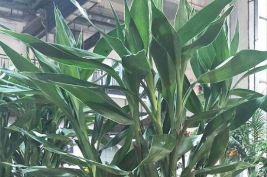 水培富贵竹怎么养才能更旺盛