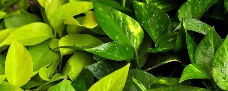 绿罗兰叶子发黄什么原因
