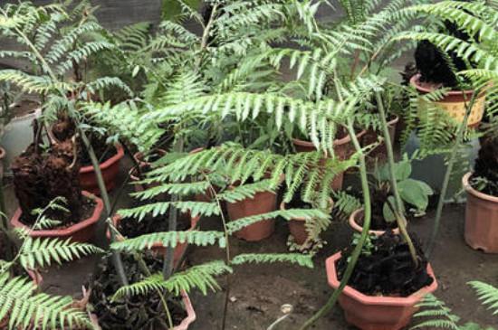金丝猴蕨养殖方法