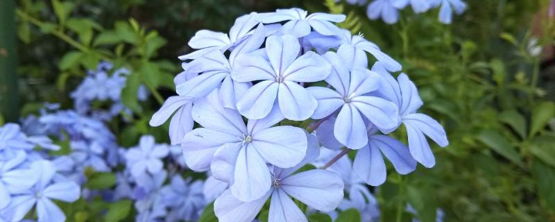 藍雪花葉子發黃、干枯下垂怎么辦?