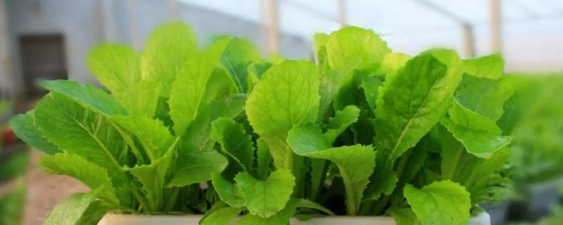 盆栽蔬菜的技术和方法
