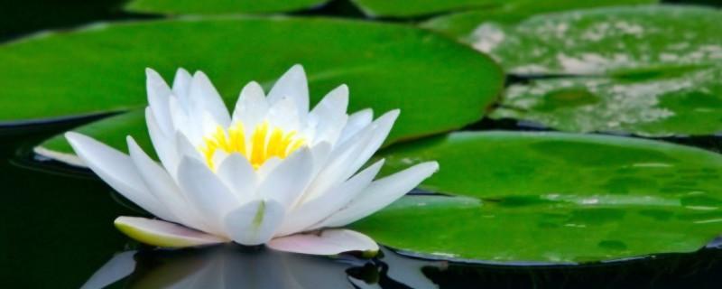 摘下來的荷花花苞可以開花嗎