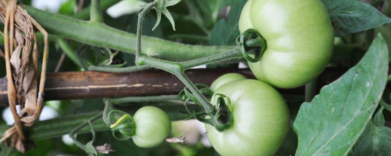 西紅柿長多高才打頂