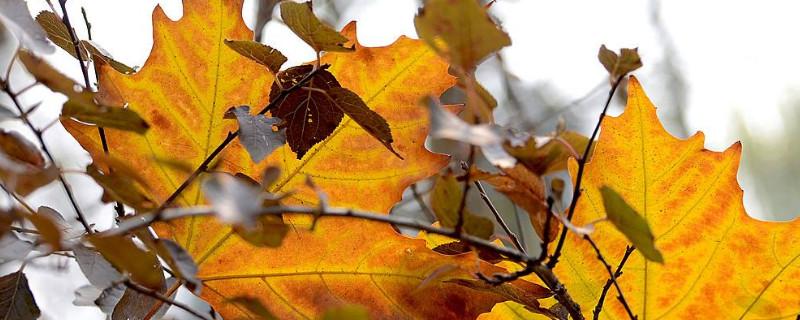 法桐树叶子发黄怎么回事