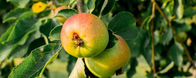 苹果树夏季管理及修剪