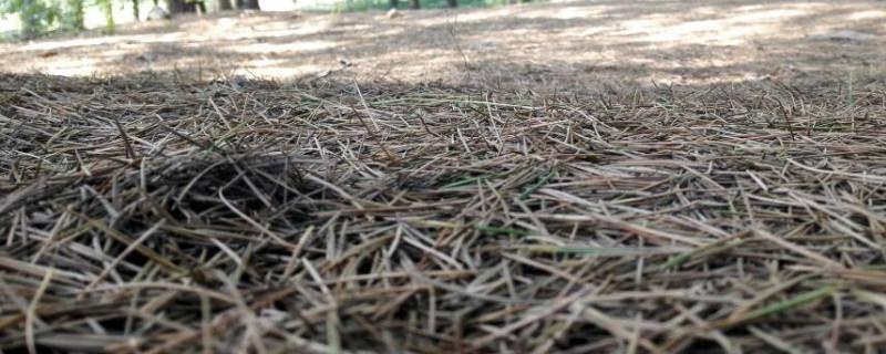 为什么松针土不能栽月季