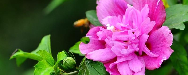 木槿花圖片養殖方法
