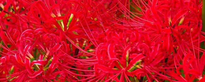 曼珠沙华和彼岸花是同一种花吗