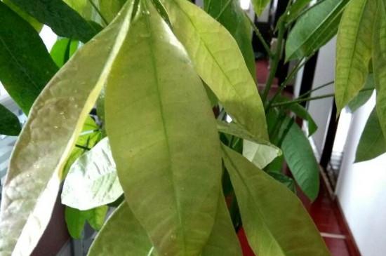 夏天发财树叶子发黄脱落怎样挽救