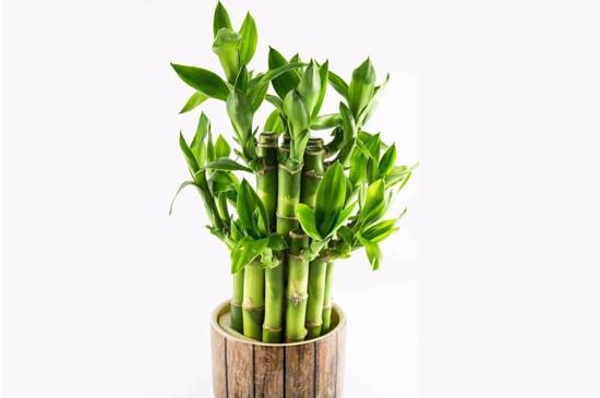 水养富贵竹叶子发黄怎么回事