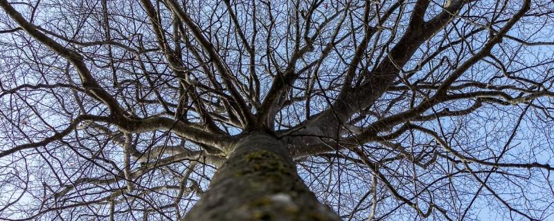 如何让大树自然枯萎死
