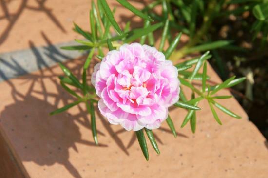 重瓣太阳花的养殖方法和注意事项